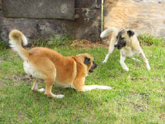 AKC Ch Horizon's Moses, playing with Sam. Turkish Import Anatolian.