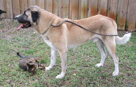Karaala, Sam. Turkish import Anatolian Shepherd Dog posing with a friend named Riley.