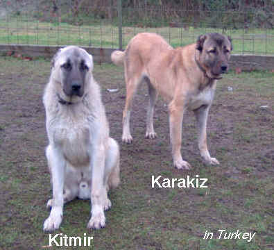 Turkish working dogs. Sam's parents in Turkey.